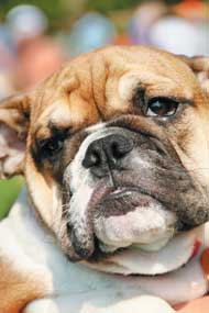 LHS-bulldog