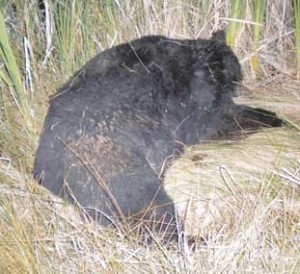 Linda Hitz of Lovell hit a 300-pound black bear near the Rockvale cemetery in Montana, on Friday, Aug. 17, at around 9:30 p.m on her way home from a youth temple event in Billings.