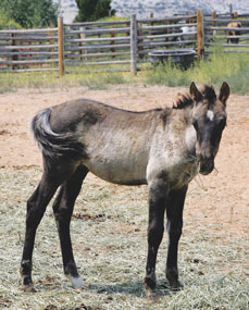 This little mustang foal was removed from the Pryor Mountain Wild Horse Range and will be made available for adoption along with his mother on Sept. 8 at Britton Springs Corrals near Lovell.