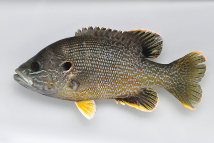 Green sunfish File photo