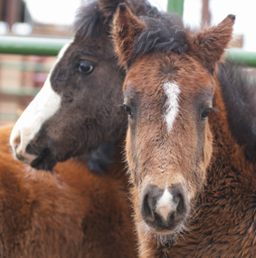 Four foals were rescued by wild horse advocates following a roundup of approximately 40 horses on BLM land that took place in March. Photo courtesy of the Cloud Foundation