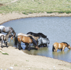 A lawsuit filed by Colorado-based wild horse advocacy groups over issues related to how the BLM manages wild mustangs in the Pryor Mountains like the ones pictured above was decided in favor of the Bureau of Land Management this month after a five-year legal battle. Patti Carpenter