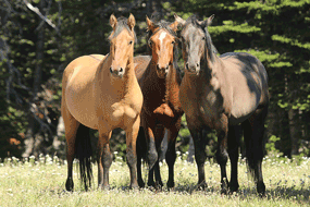 Courtesy of Nancy Cerroni/PMWMC An online adoption process began on Tuesday and will continue through Sept. 3 for those interested in adopting horses recently removed from the Pryor Mountain Wild Horse Range.